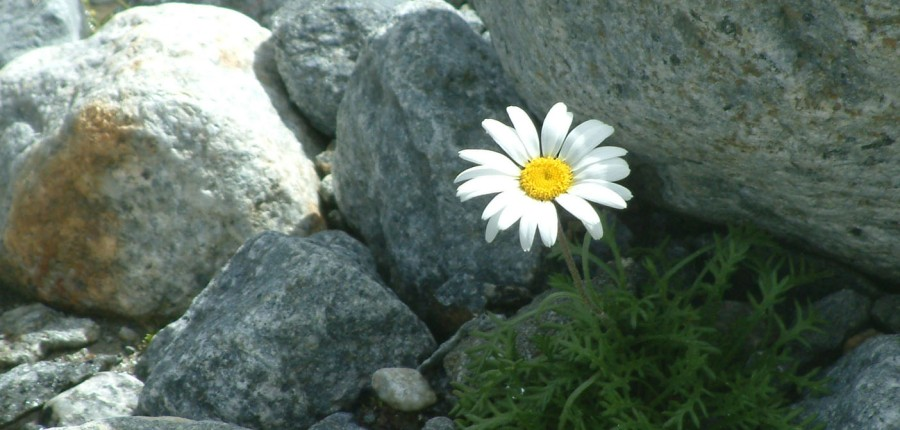 fiore-tra-le-rocce