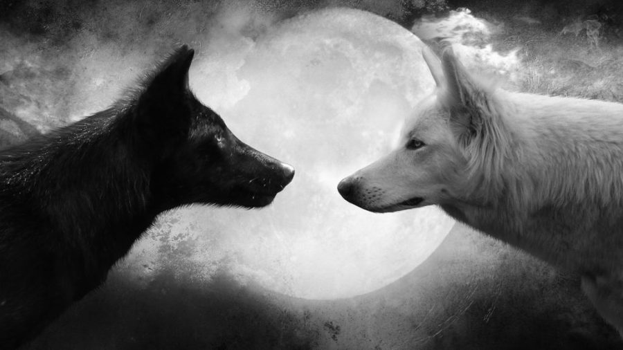 Lupo bianco e lupo nero.jpg