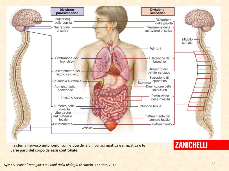 Sistema nervoso autonomo, con le due divisioni parasimpatica e simpatica e le varie parti del corpo+da+esse+controllate..jpg