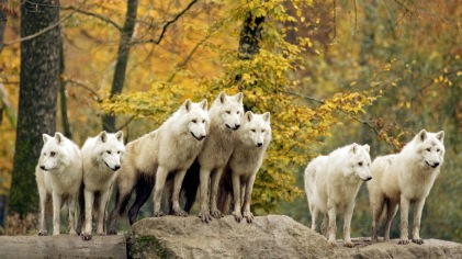 Arctic or Canadian wolf in autumn. Loup arctique ou du Canada. Canis lupus.