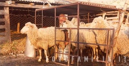pecore-uscita-recinto